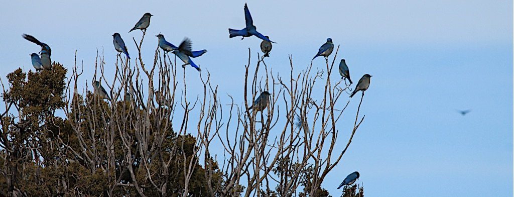 Flock of bluebirds